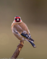 Hairy Goldfinch on a perch