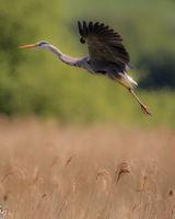 Heron - coming into land