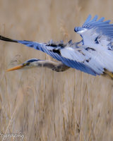 Heron - landing with turbulence on it's wings