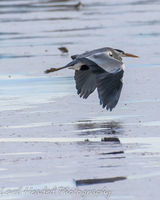 Heron flying over the mudflats