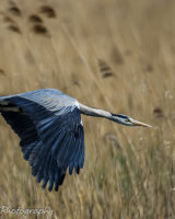 Heron lift off after feeding chick