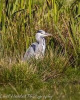 Heron lurking in the grass