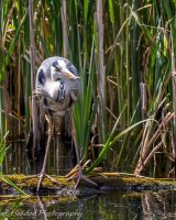 Heron on a log with small catch