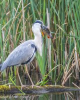 Heron with huge catch - down in one