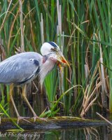 Heron with huge catch - nearly there!