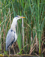 Heron with huge catch - slowly going down