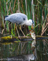 Heron with huge catch taking a rest