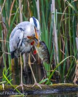 Heron with huge catch