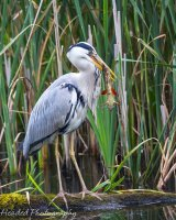Heron with huge catch wondering what to do next
