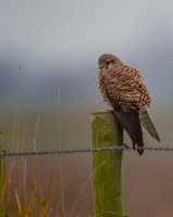 Kestrel on a cold winters day