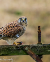 Kestrel on a pole with lunch