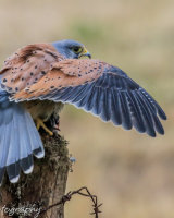 Kestrel with a lunch of mouse