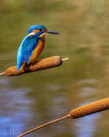Kingfisher on a bulrush