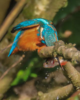 Kingfisher tenderising it's lunch