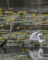 Little egret catching fish in the lilies