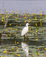 Little egret in the lilies