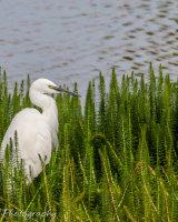 Little egret lurking