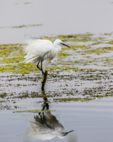 Little egret perch reflection