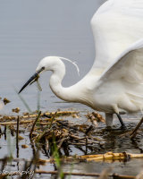 Little egret with dragon fly