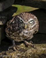 Little owl giving stern stare