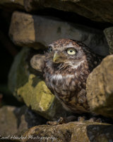 Little owl in hole in a wall