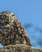 Little owl on stone with blue sky