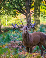 Majestic stag bellowing