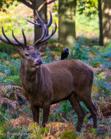 Majestic stag with jackdaw