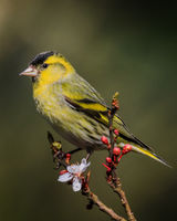 Male siskin on a blossom branch