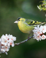 Male siskin perching on a blossom branch