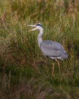 Noisy heron