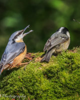 Nuthatch growling at a coaltit