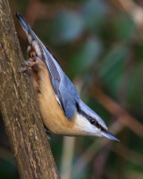 Nuthatch on fence post