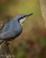 Nuthatch on the fence