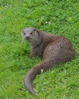 Otter in the grass