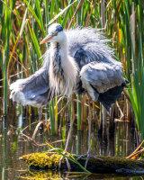 Porcupine heron