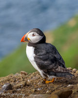 Puffin on a cliff