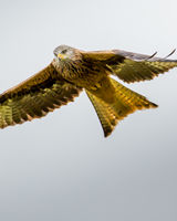 Red Kite - a keen eye