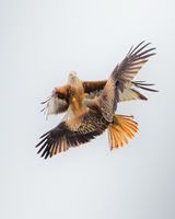 Red Kite - abstract