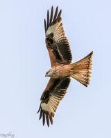 Red Kite big wings