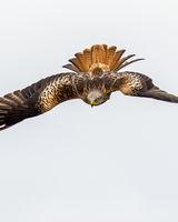 Red Kite head on