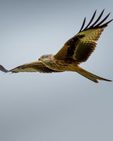 Red Kite in the glide