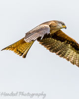 Red Kite on the hunt