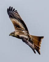 Red Kite over wing view