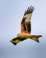 Red Kite underwing view