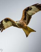 Red Kite wing power