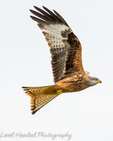 Red Kite wing up profile