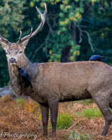 Red deer stag with jackdaw tick removal service