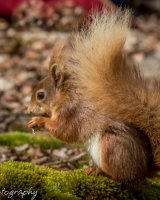 Red squirrel on moss