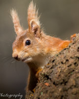 Red squirrel up a tree